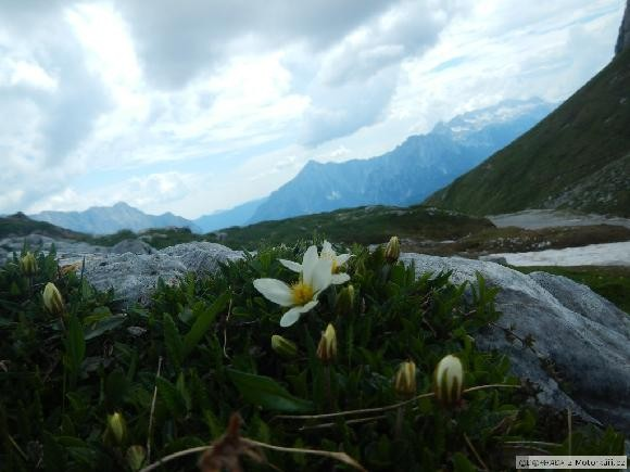 Mangard kvítko Alpy